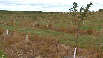 plantarea ciresului 2