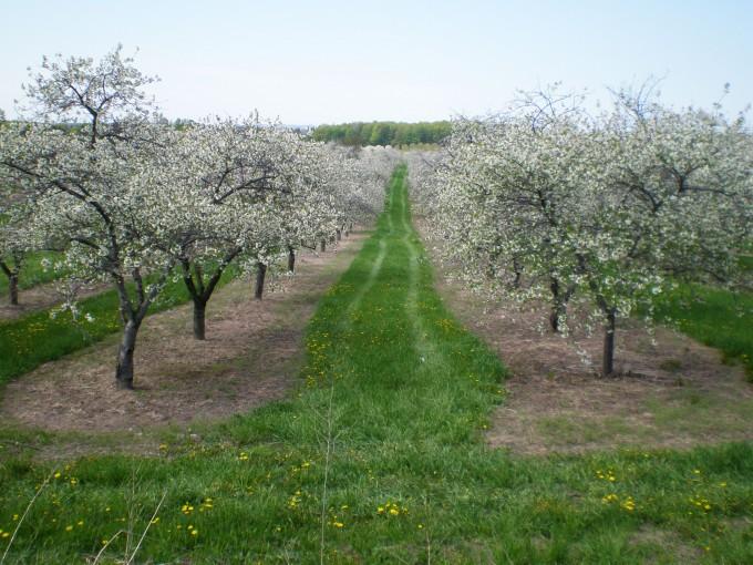 vand pomi fructiferi altoiti cires
