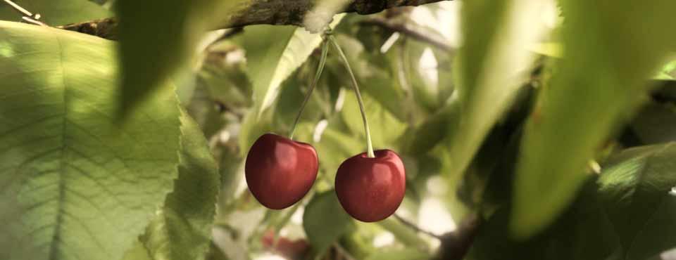 vand pomi fructiferi cires