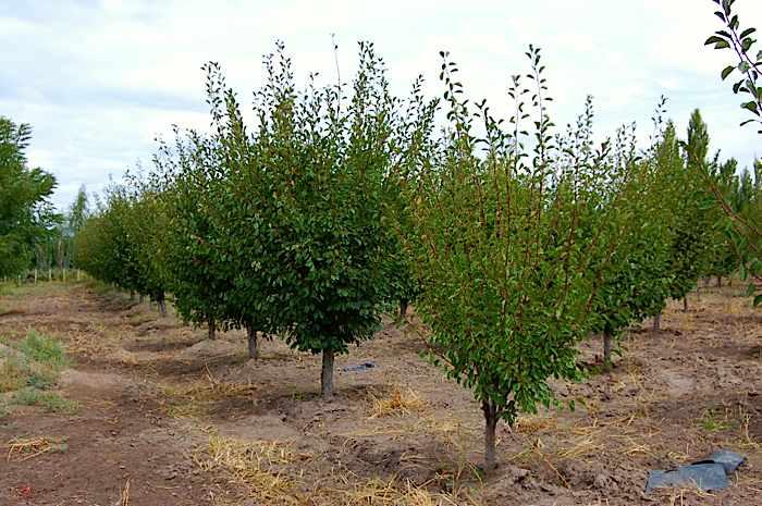 vand pomi fructiferi prun 2