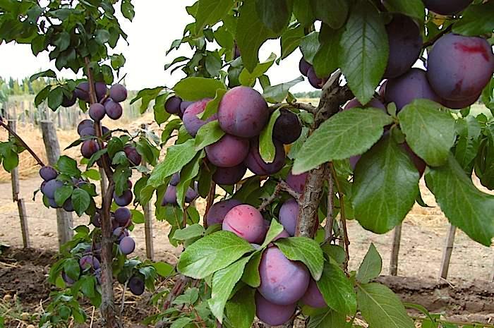 vand pomi fructiferi prun altoiti