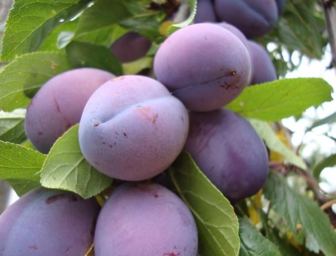 vand pomi fructiferi prun