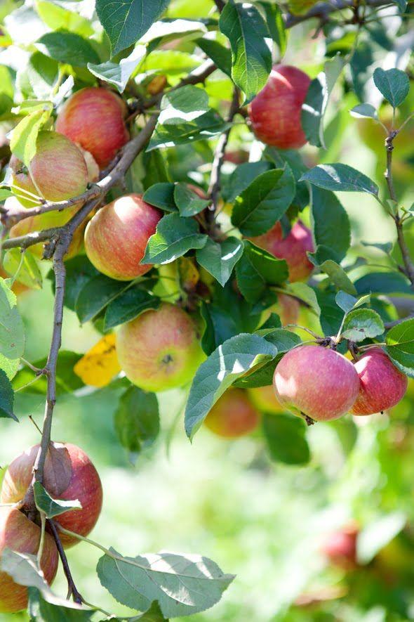 vand pomi fructiferi altoiti mar 2