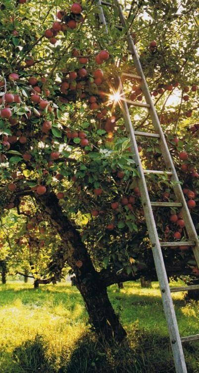 vand pomi fructiferi mar 2