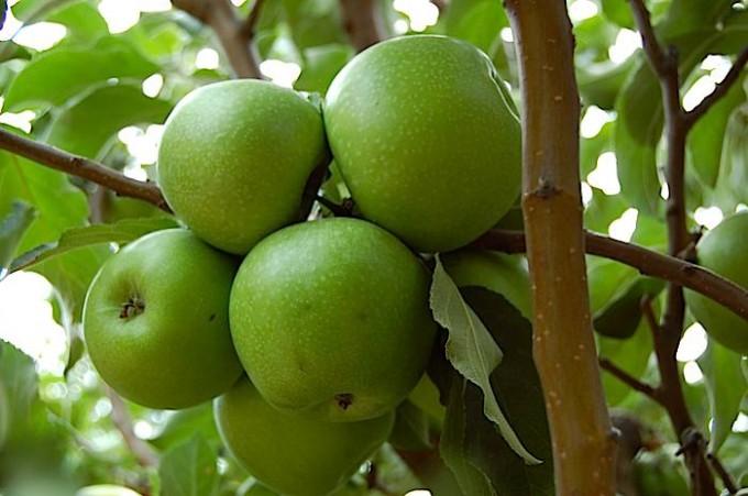 vand pomi fructiferi  soiuri mar romanesti