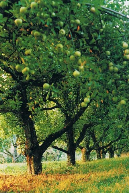 vand pomi fructiferi mar livada batrana