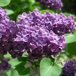 liliac-syringa_vulgaris_8