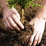 plantare arbust fructifer